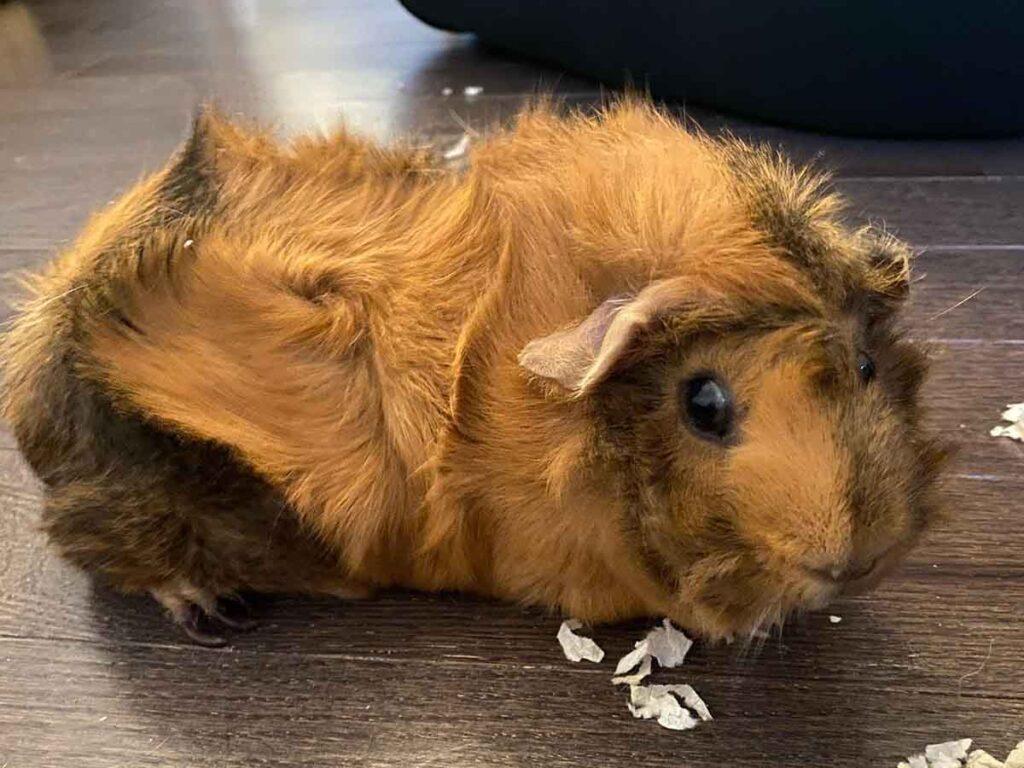 Guinea Pig - brown